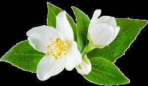 Jazminovy kvet